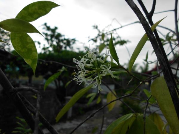 Bunga Palem jepang